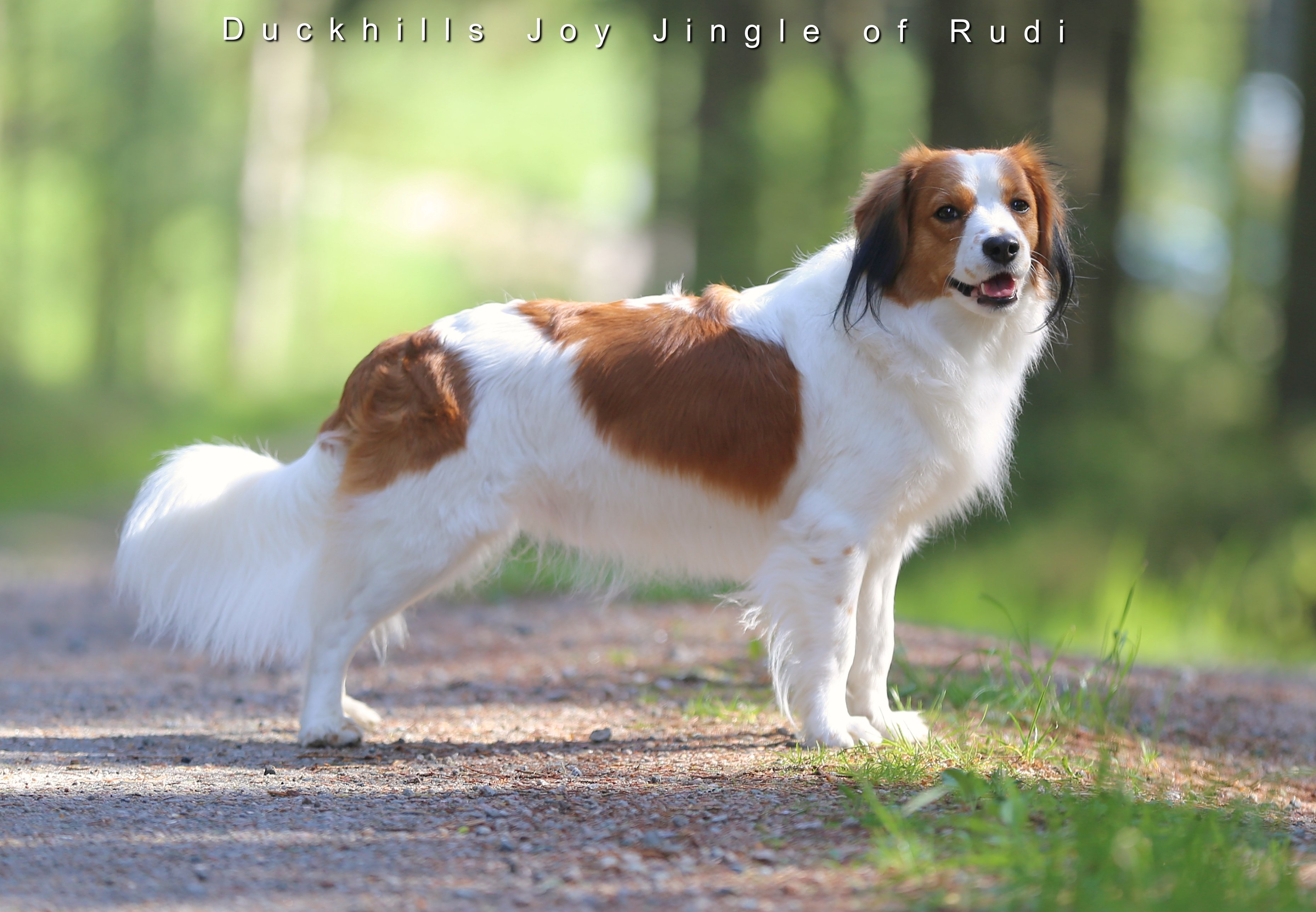 Duckhills Joy Jingle of Rudi 22months