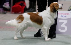 res best male cacib show norway kooikerhondje 16m